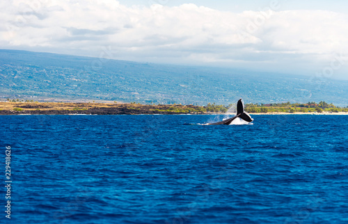 Whale jumps out of the water, Hawaii, USA. Copy space for text.