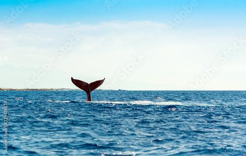 Naklejka premium Whale wyskakuje z wody, Hawaje, USA. Skopiuj miejsce na tekst.