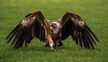 Griffon Vulture Bird Close Up