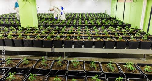 Photo  Cannabis Stecklinge werden in CBD Indoor Anlage gepflegt