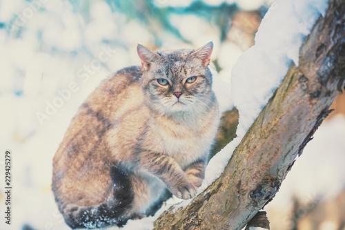 Fototapeta premium Syjamski kot siedzi na drzewie w ogródzie w śnieżnej zimie
