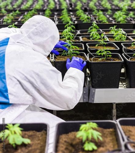 Medizinisches Marihuana Cannabis CBD Indoor Anlage junger Mann pflegt die Marihuana Pflanzen