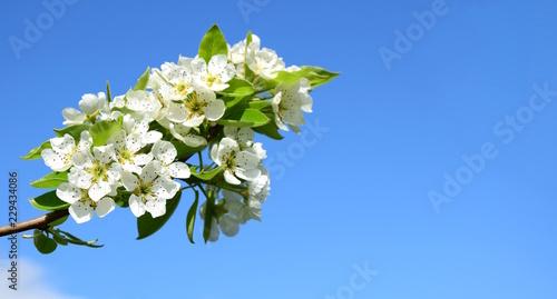 Birnenblüten, freigestellt vor blauen Himmel