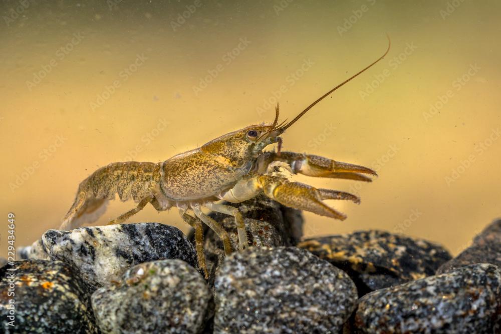 European crayfish on stoney riverbed