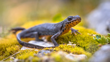 Alpine Newt Side View On Moss And Rocks