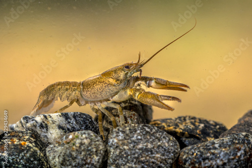 European crayfish on stoney riverbed