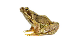 Cut Out Common Frog On White B...