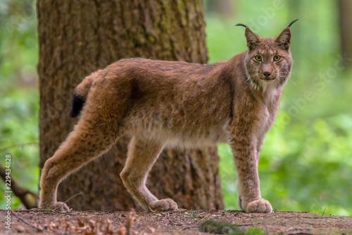 Poster Lynx Eurasian lynx in forest habitat