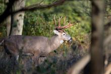 Buck Whitetail Deer Stepping I...