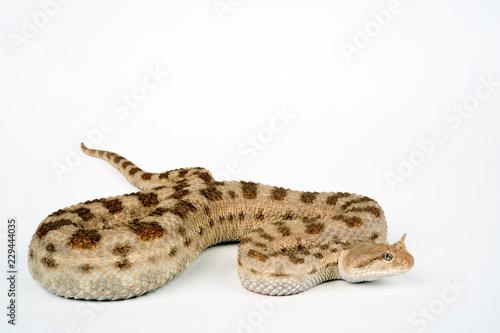 Wüsten-Hornviper (Cerastes cerastes) - horned desert viper