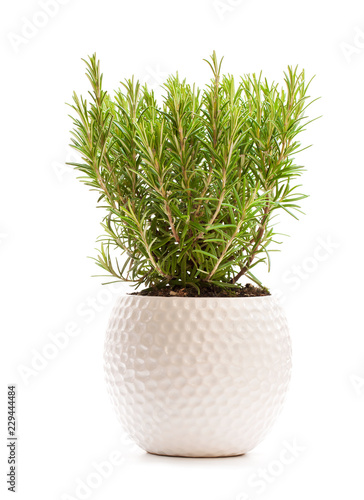 Rosemary bush in the flower pot isolated on white background