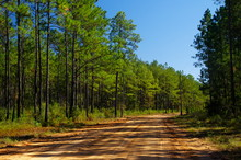 A Gravel Road Into The Lake Talquin State Park And Forest With Tall Glorious Pine Trees In Tallahassee, Florida