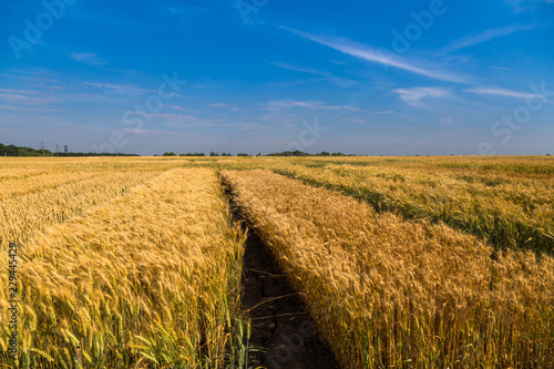 Fotobehang Cultuur Golden wheat field with blue sky in background.