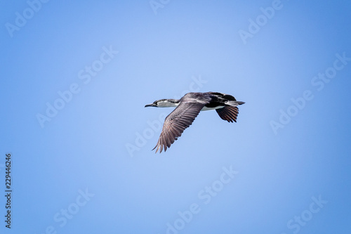 Fotografia, Obraz  Darter flying on a blue sky with its wings down