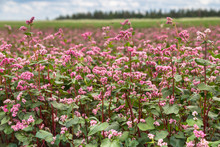 Red Buckwheat Flowers On The F...
