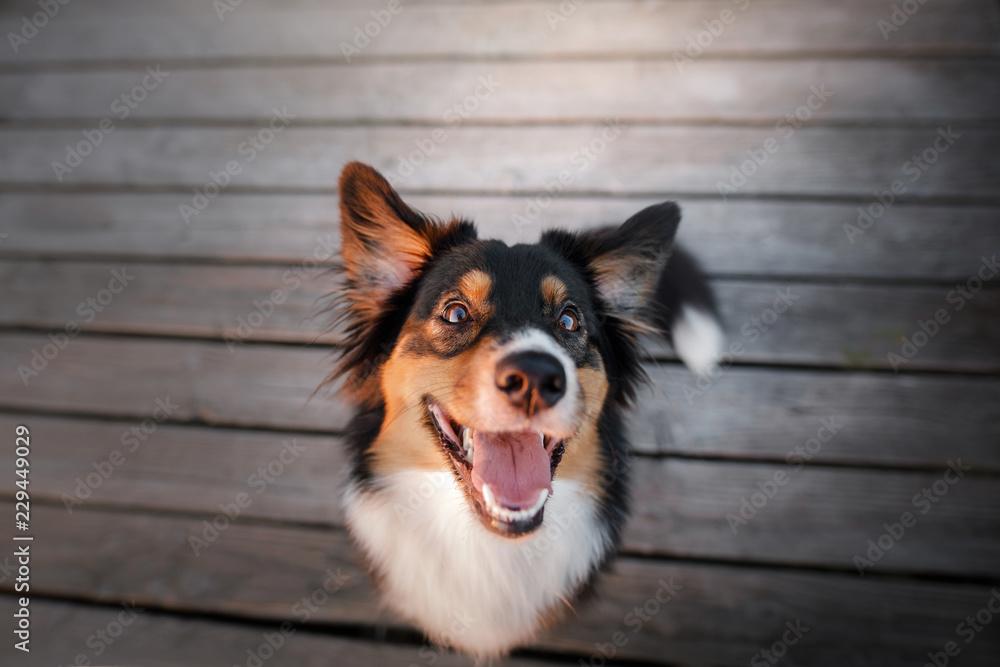 funny dog face. Australian shepherd portrait. Happy pet
