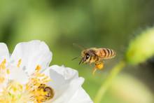 Honey Bee In Poppy Flower