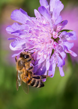 Honey Bee In Pincushion Flower - Scabiosa Triandra