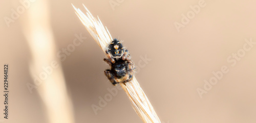 Macro of a Colorful & Bright, a Beautiful Bold Jumping Spider (Phidippus audax) on a Dried Stalk of Grass in Colorado on a Fall Day