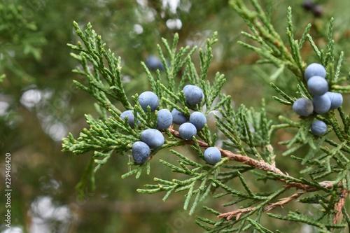 Fototapeta Closeup of juniper red cedar tree branches with blue berries obraz