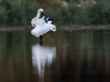 Eurasian Spoonbill With Reflection Preening And Standing  On The Pond