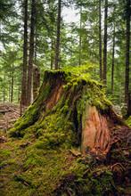 Rotting Cedar Stump In Forest