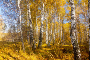 Fototapeta Brzoza Beautiful autumn forest with different trees