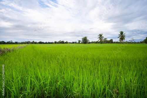 Fotobehang Cultuur Green rice field in a cloudy day