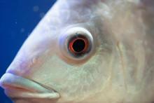 Eye Of Fish