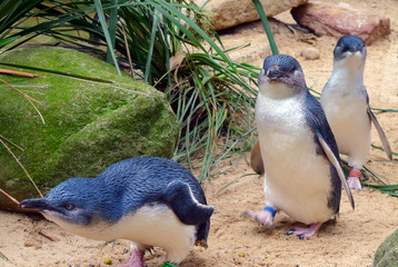 Fototapeta Cute Australian little penguins