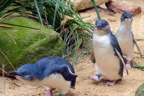 Spoed Fotobehang Pinguin Cute Australian little penguins