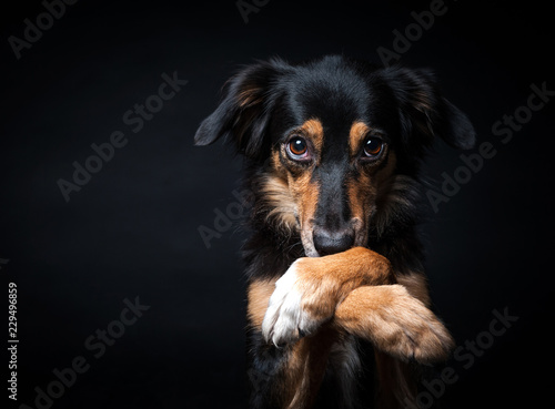fototapeta na lodówkę Portrait of Border collie isolated on black background
