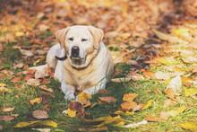 Labrador Retriever Dog Lying Outdoors On Fallen Leaves In The Autumn Garden