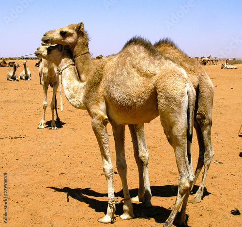 Camels in the camel market, Omdurman Sudan