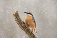 Nuthatch In The Snow Sitting O...