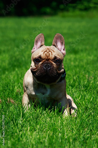 Poster Franse bulldog Dog breed French Bulldog