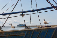 Two Young Seagulls On An Old F...
