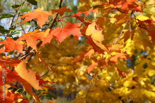 Foto op Canvas Herfst Autumn. Fall scene. Beautiful Autumnal park. Beauty nature scene. Autumn landscape, Trees and Leaves, foggy forest in Sunlight Rays