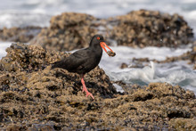 One Oyster Catcher With Black ...