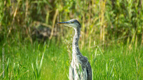 Grey heron (Ardea cinerea) close up standing in field in summer sun Wallpaper Mural