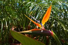 Strelitzia Reginae Exotic Plan...