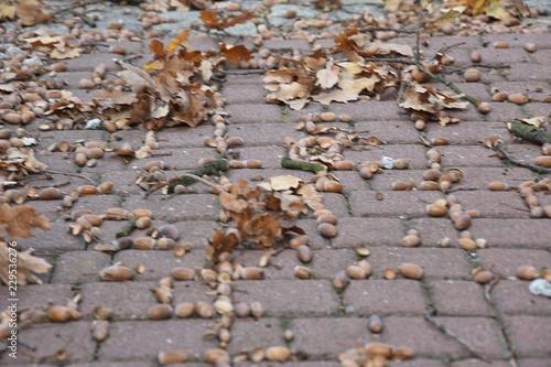Żołędzie i liście jesienia
