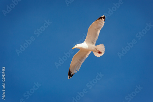 Soaring Herring Gull in clear blue sky with copy space