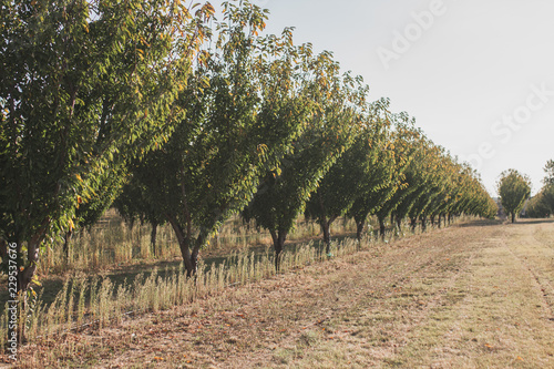 In de dag Olijfboom Autumn in Provence - Olive Grove