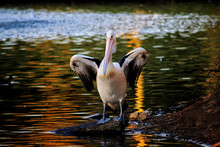 Pelican Resting At Duckpond