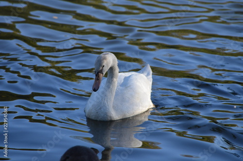 white swan swims in a lake during autumn, graceful bird with white feathers