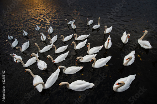 a flock of mute swans swimming on the Vltava river in Prague at sunset - wide angle shot from above