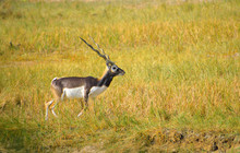 The Blackbuck Or Indian Antelope In The Forest.