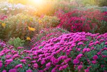Purple Chrysanthemum Flowers At Sunny Day.