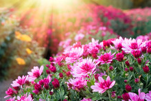 Pink Chrysanthemum Flowers In Sunlight At Sunny Day.